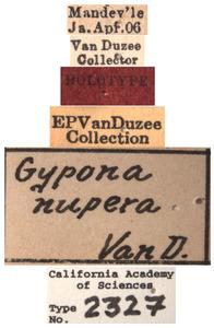 Gypona nupera image