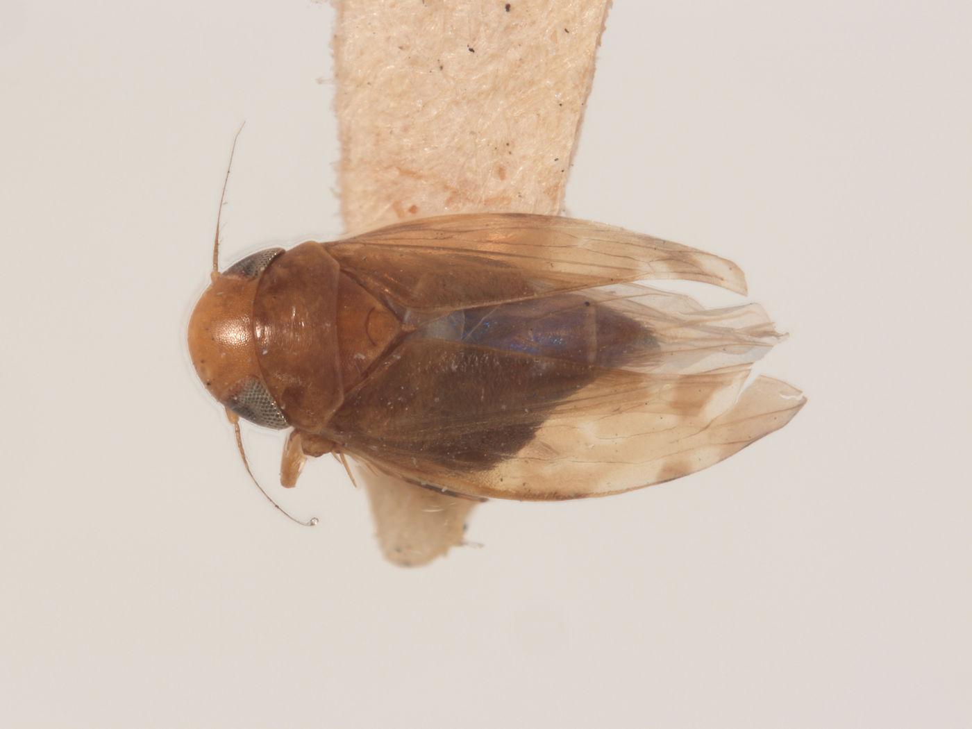 Xestocephalus brunneus image