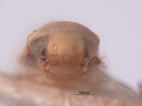 Xestocephalus bipunctatus image