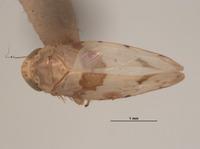 Image of Xestocephalus balli