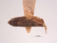 Platymetopius nanus image