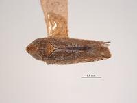 Image of Platymetopius brevis