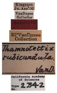 Thamnotettix rubicundula image