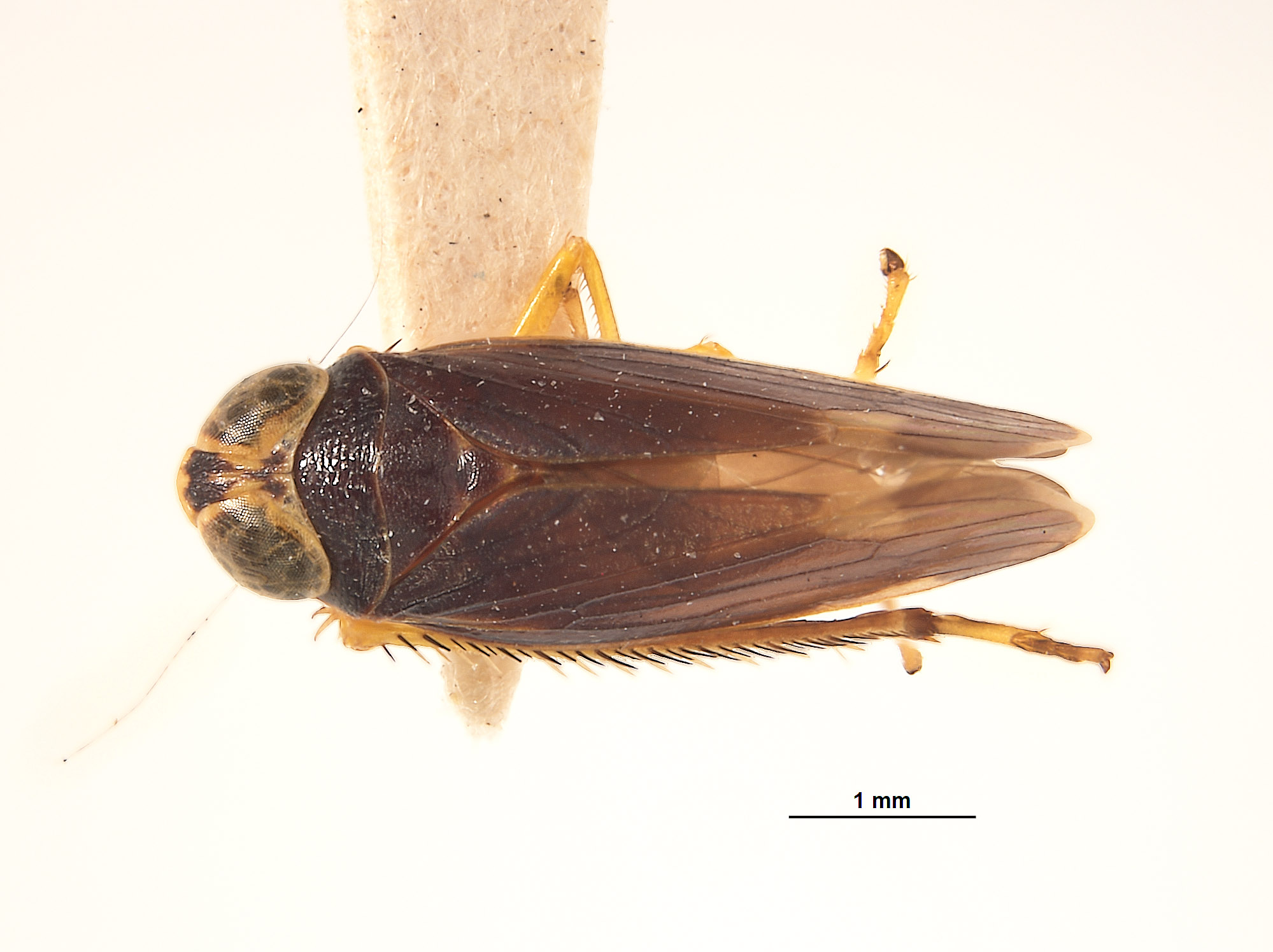 Jassus merus image