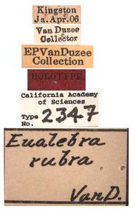 Eualebra rubra image