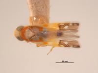 Image of Protalebra apicalis