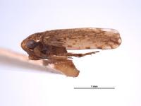 Xestocephalus agassizi image