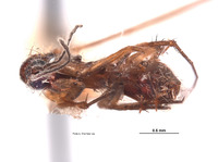 Leia nigricornis image