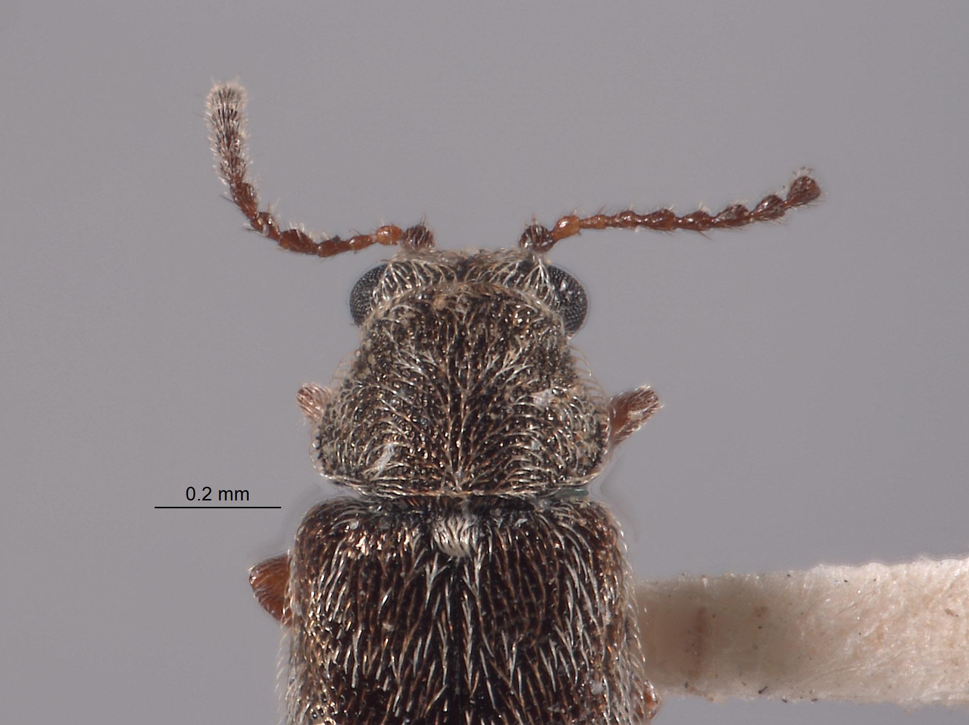 Listrus longicornis image