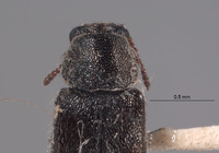 Image of Listrus falli