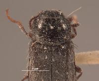 Image of Eudasytes desertus