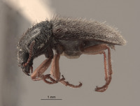 Image of Eudasytes grandicollis