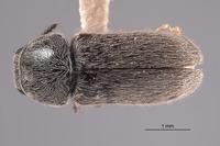 Image of Trichochrous certus