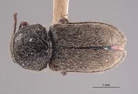 Image of Trichochrous basilis