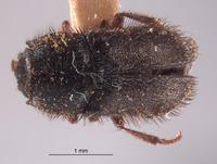 Image of Trichochrous acutus