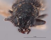 Image of Trichochrous dubitans