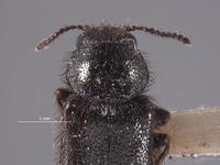 Image of Trichochrous muiri