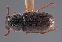 Image of Trichochrous albertensis