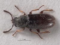 Image of Listropsis armatulus