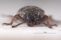 Listropsis armatulus image