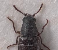 Listrus coloradensis image