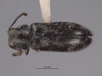 Image of Listrus bifasciatus