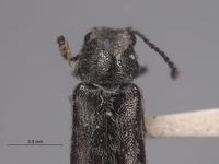 Listrus bifasciatus image