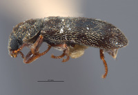 Listrus simplex image