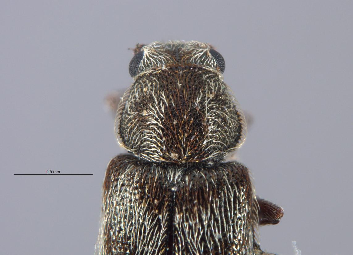 Listrus incestus image