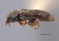 Image of Listrus parvicollis