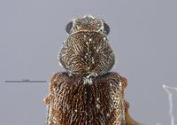 Listrus parvicollis image