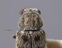 Listrus trochantericus image