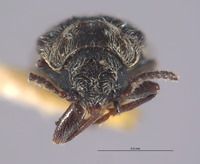 Image of Listrus olympianus