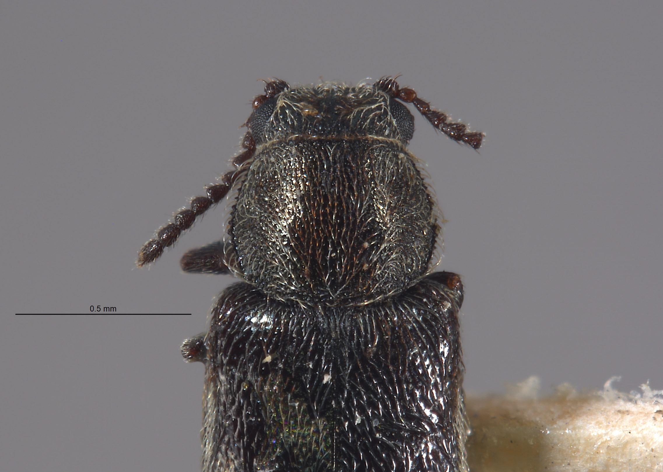 Listrus olympianus image
