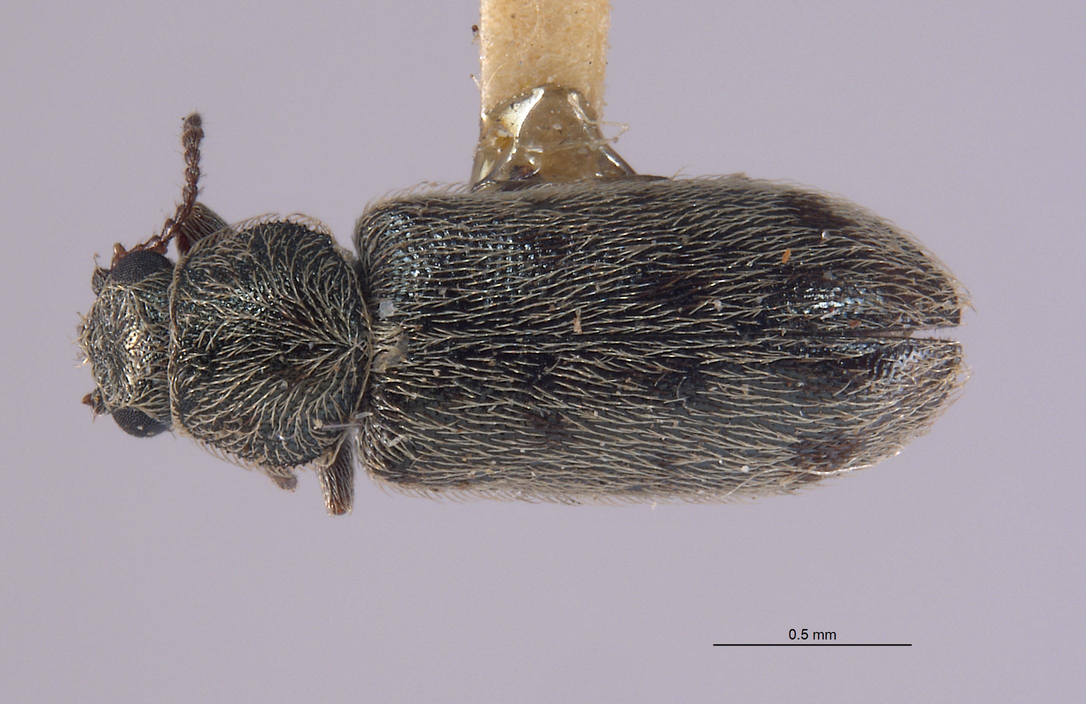 Listrus angulatus image