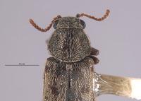 Listrus fulvipilosus image