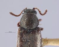 Listrus obsoletus image