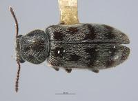 Listrus medicatus image