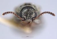 Image of Listrus medicatus