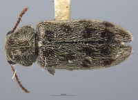 Listrus tincticornis image