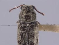 Image of Listrus tincticornis