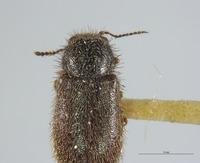 Image of Dasytes shastensis