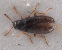 Image of Listrimorpha pallipes