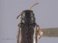Image of Eschatocrepis deserti