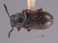 Image of Trichochrous quadrinotatus