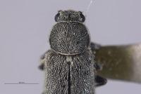 Listrus inyoensis image