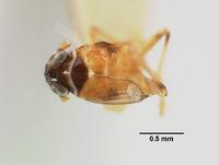 Liburnia andromeda image
