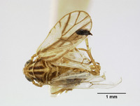 Image of Liburnia reducta