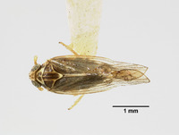 Image of Liburnia culta