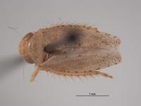 Image of Phlepsius delicatus